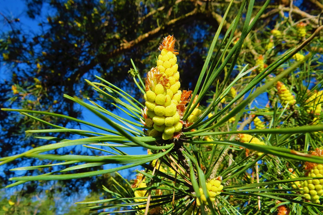 pine pollen powder benefits